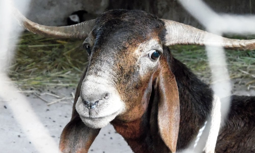 Une chèvre