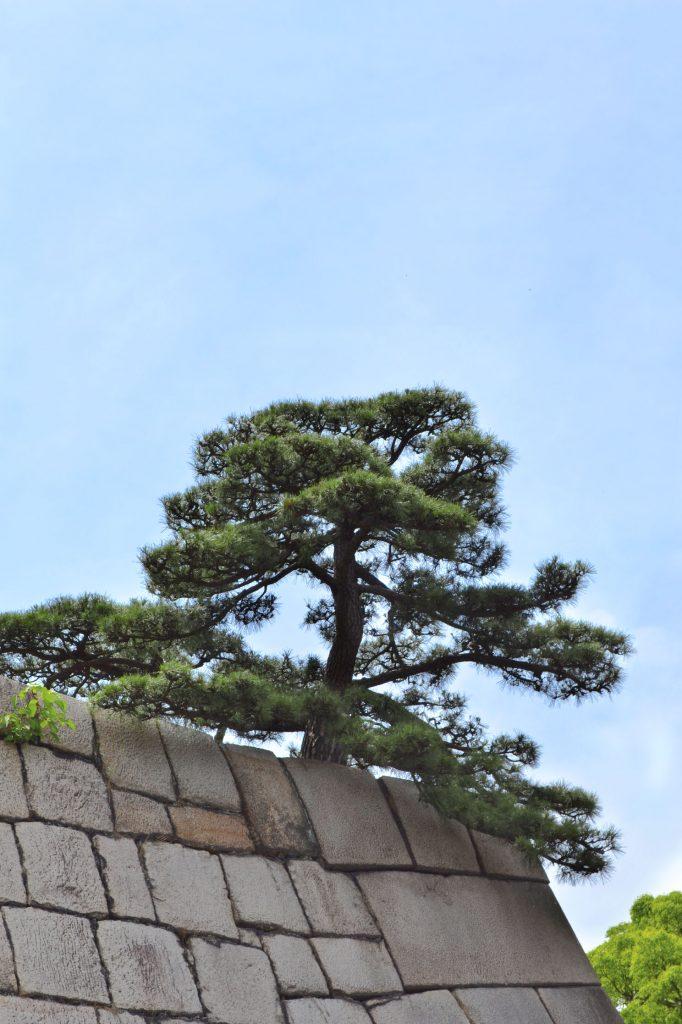 Un arbre sur l'ancienne enceinte du Palais Impérial de Tokyo