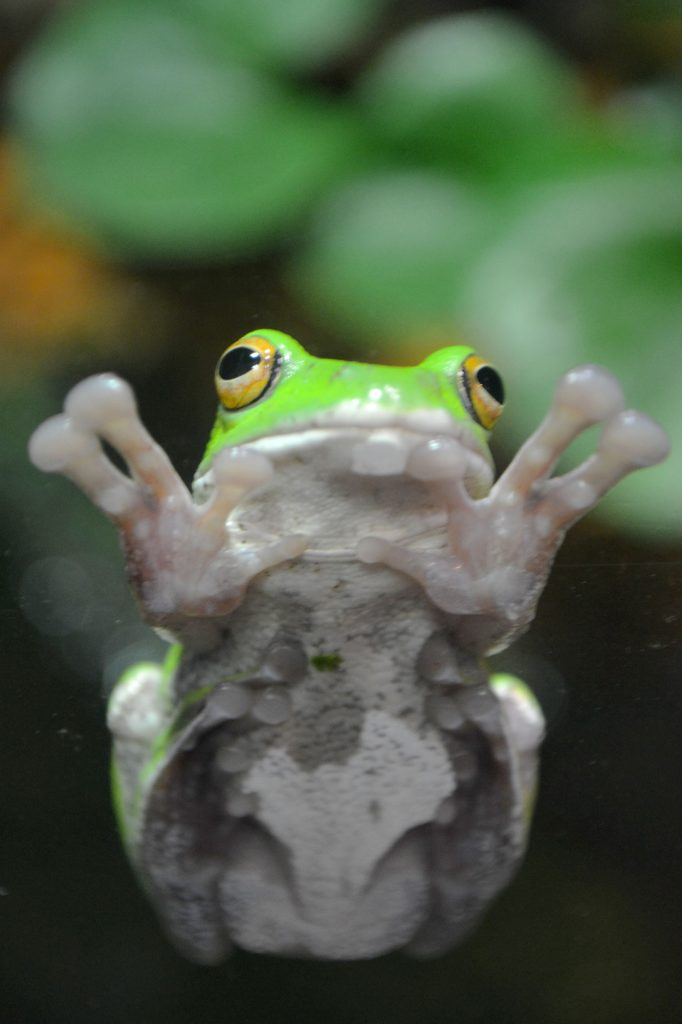 Zoo d'Ueno - une grenouille verte