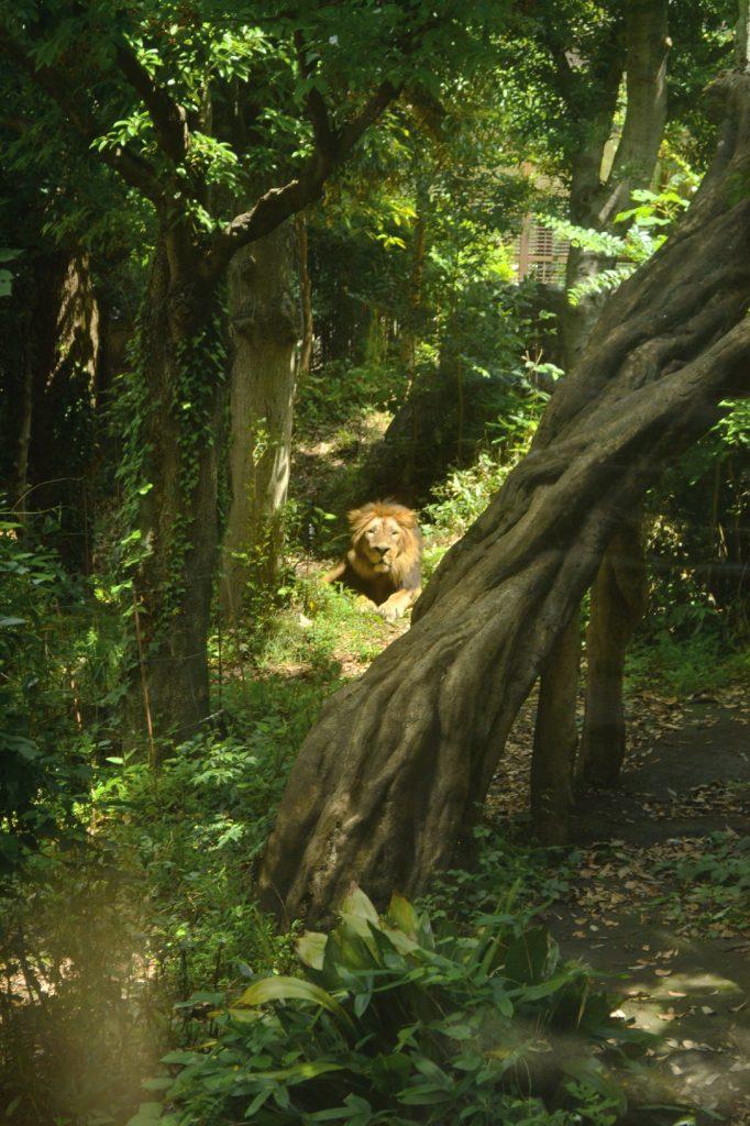 Zoo d'Ueno - un lion