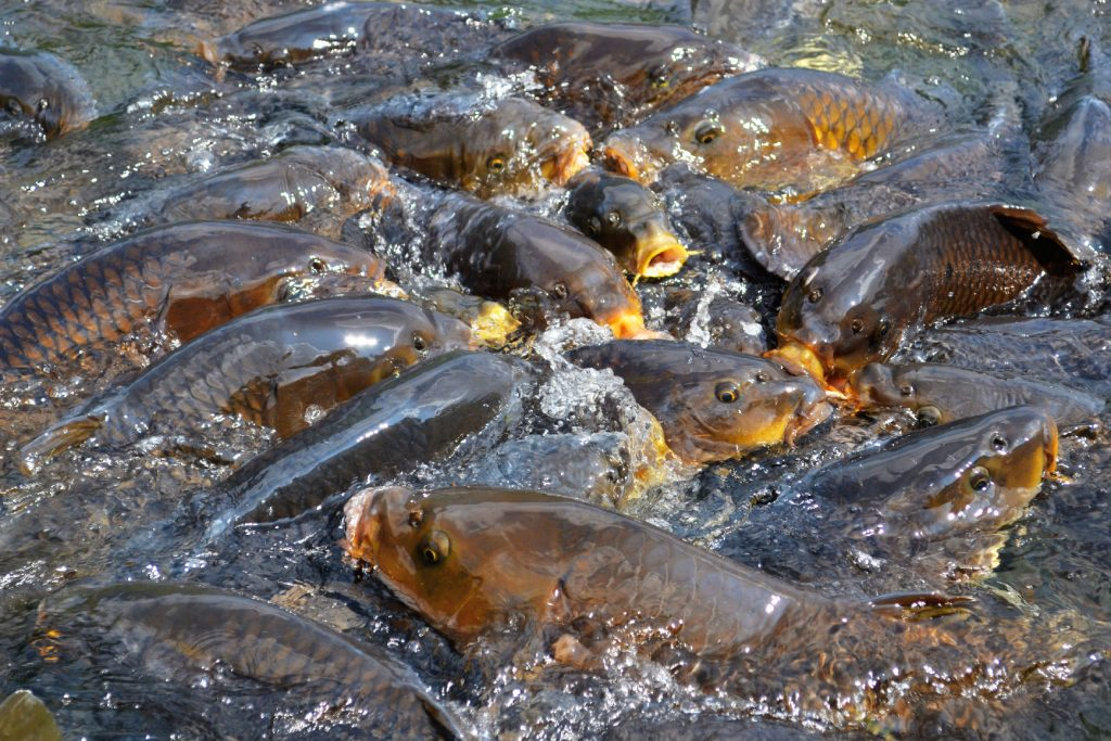 Les carpes du temple du lac Onuma