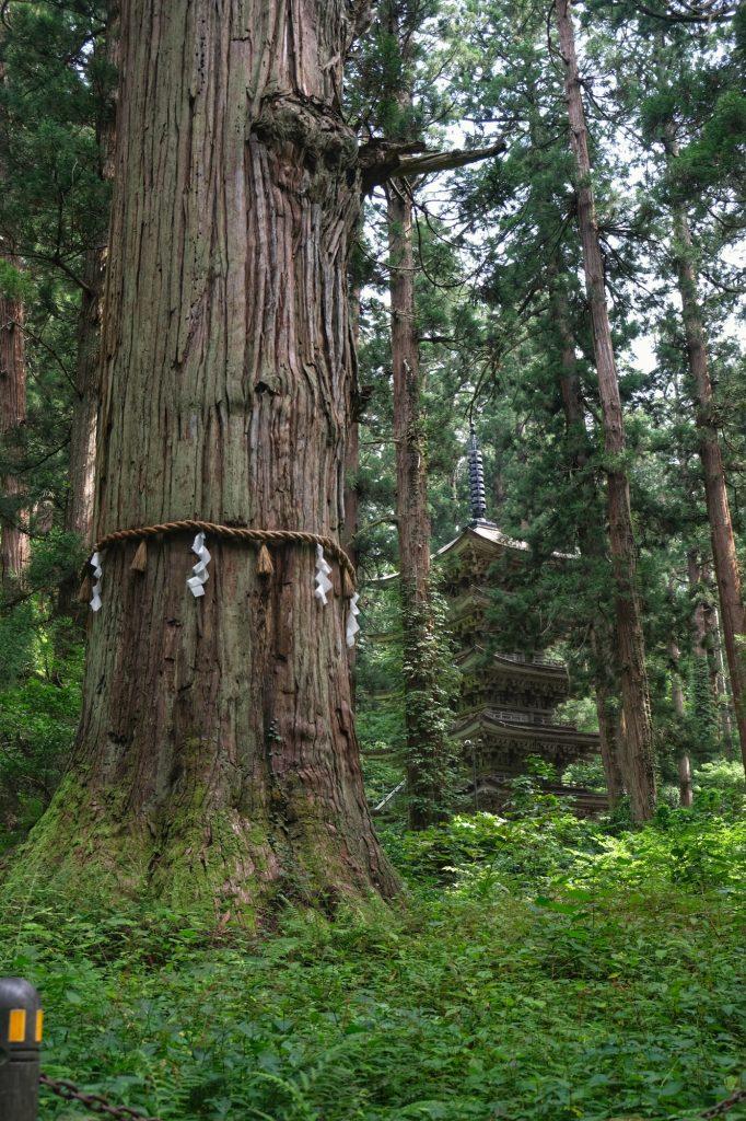 Le cèdre le plus vieux (Ojiisan) avec la pagode