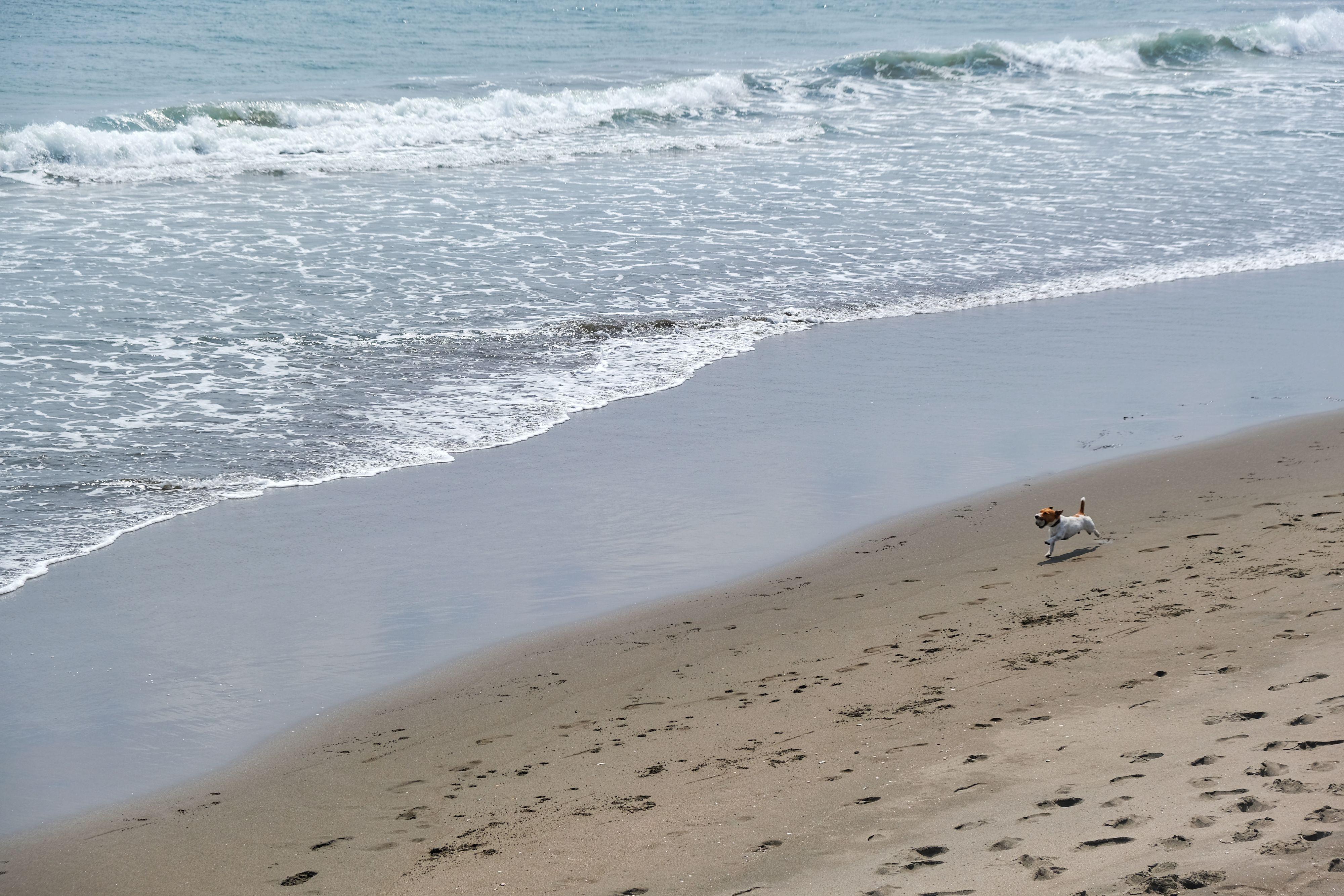 Chien qui court en bord de plage