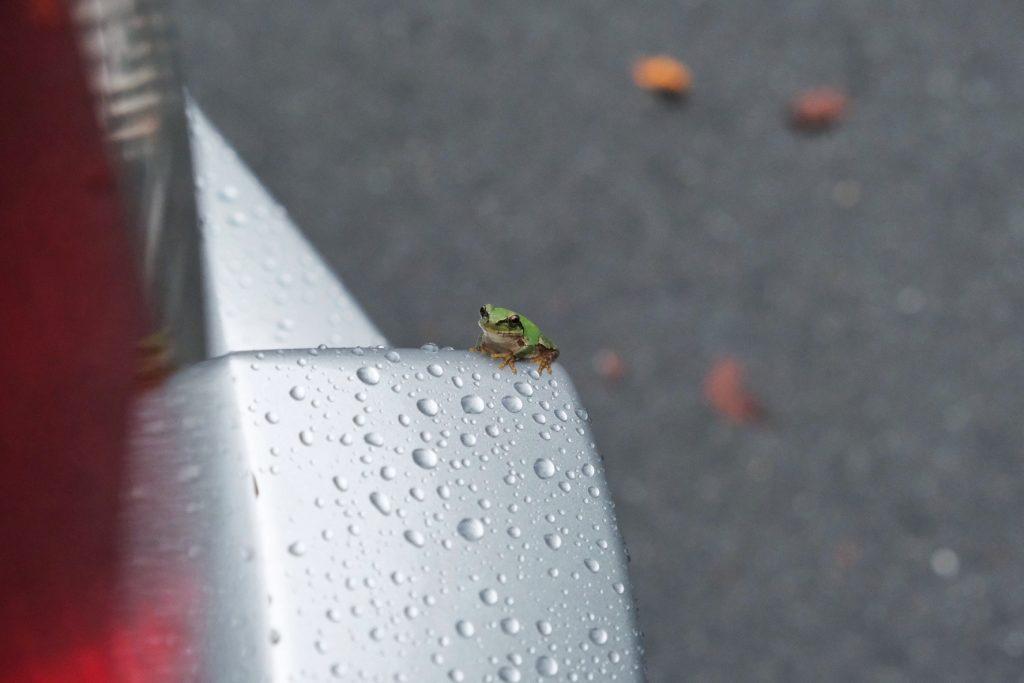 Une grenouille profite de notre voiture