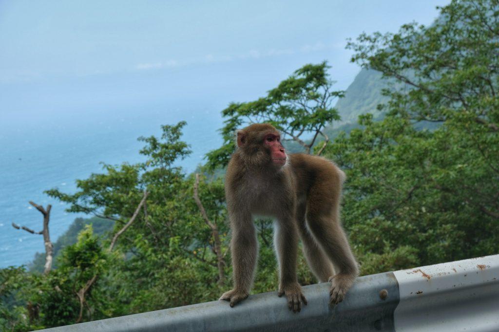 Un singe de la péninsule d'Izu