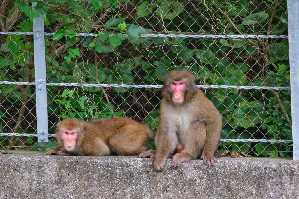 Les singes agressifs