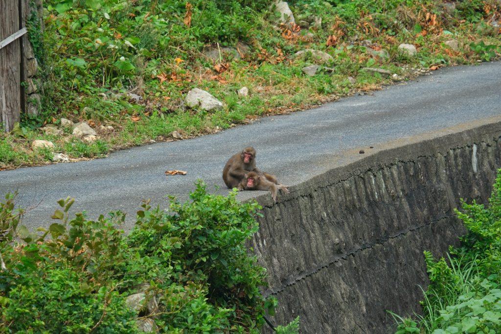 Deux singes sur la route