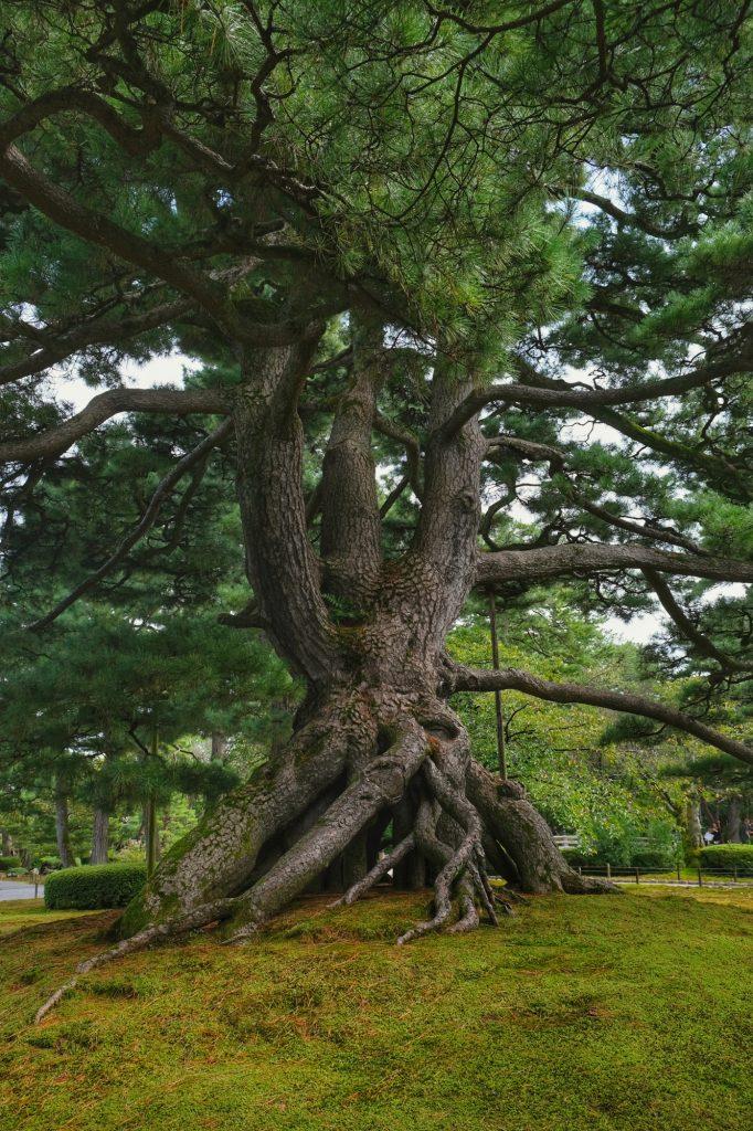Un cèdre dans le jardin du château de Kanazawa