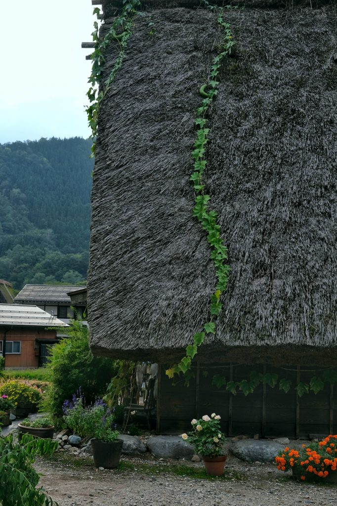 Une plante descend d'un toit de chaume d'Ogimachi
