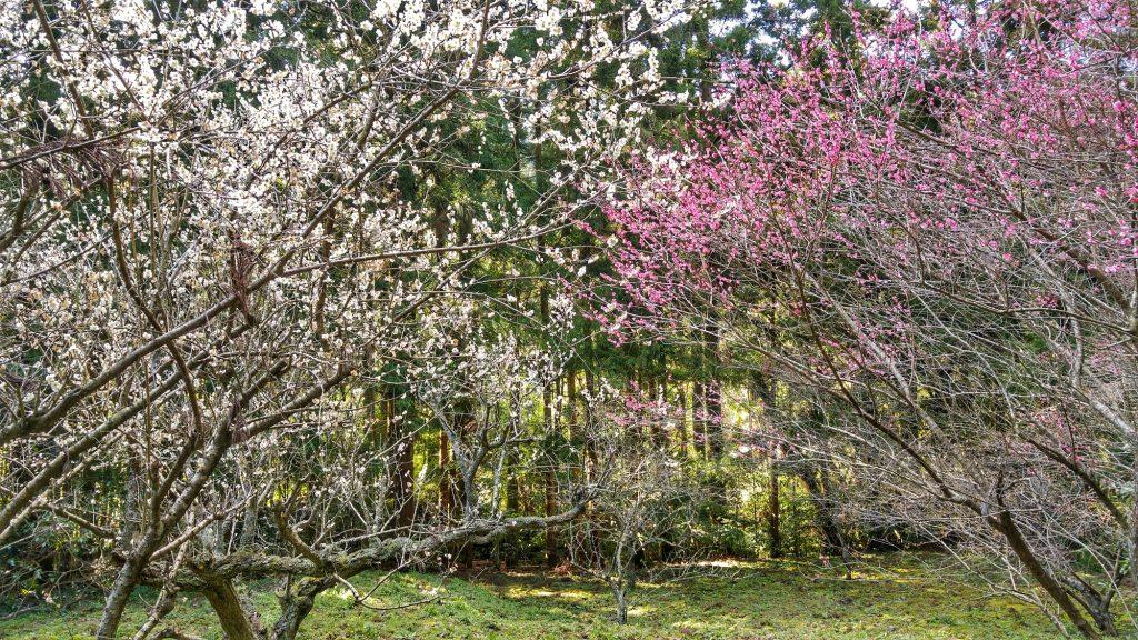 Nos premiers cerisiers en fleurs le long de la rivière Ginzan