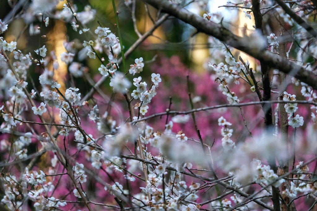 Des fleurs commencent à apparaître dans la vallée d'Iwami Ginzan