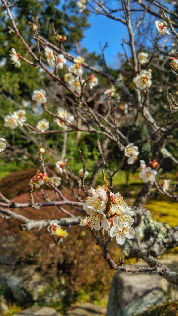 Premières fleurs de cerisiers dans le jardin d'une maison de samouraï à Matsue