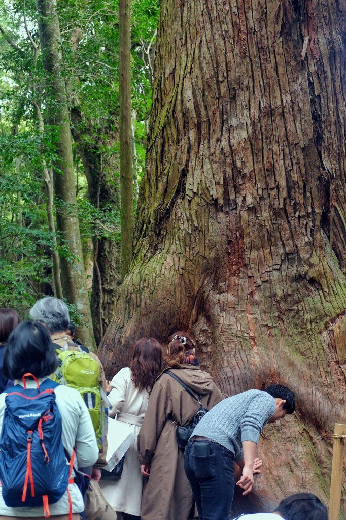 Des arbres sacrés qu'il faut toucher à l'Ise Jingu