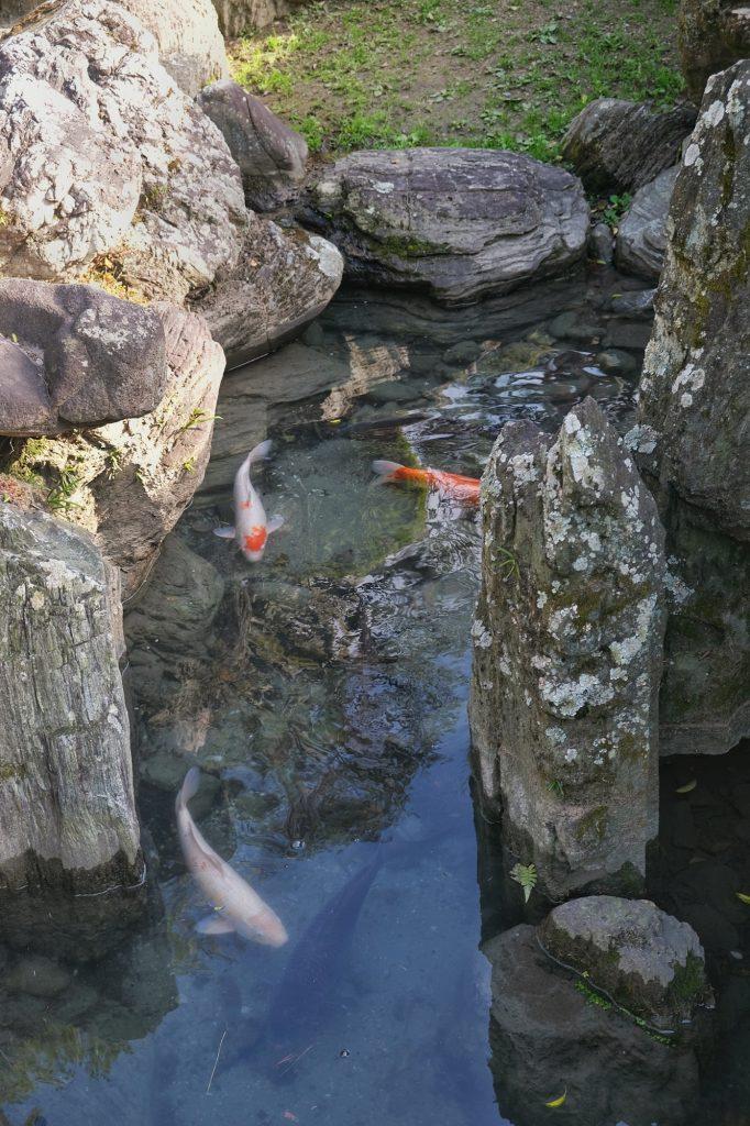 Les carpes du jardin Omote Goten de l'ancien château de Tokushima