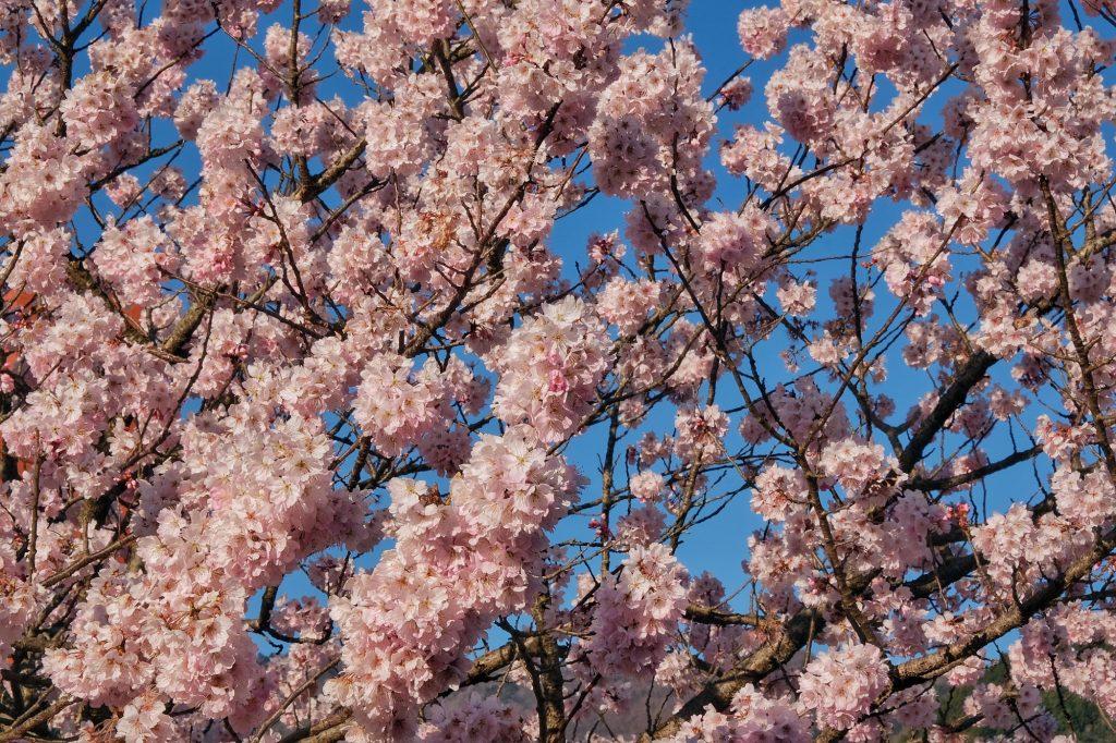 Nos premiers vrais cerisiers en fleurs à Kiyokawa