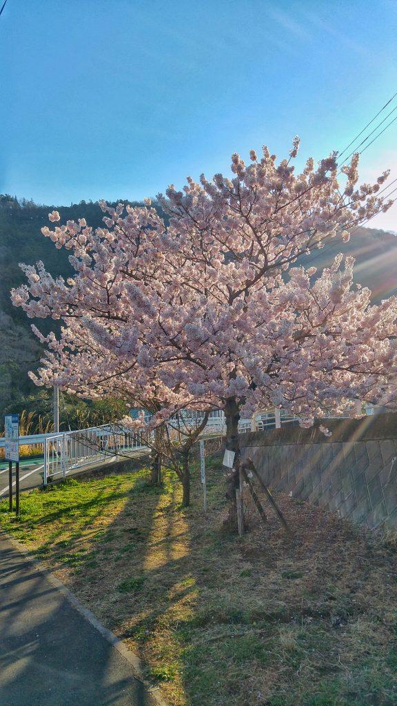 Cerisiers en fleurs dans les premiers rayons de soleil sur la michi-no-eki de Kiyakawa