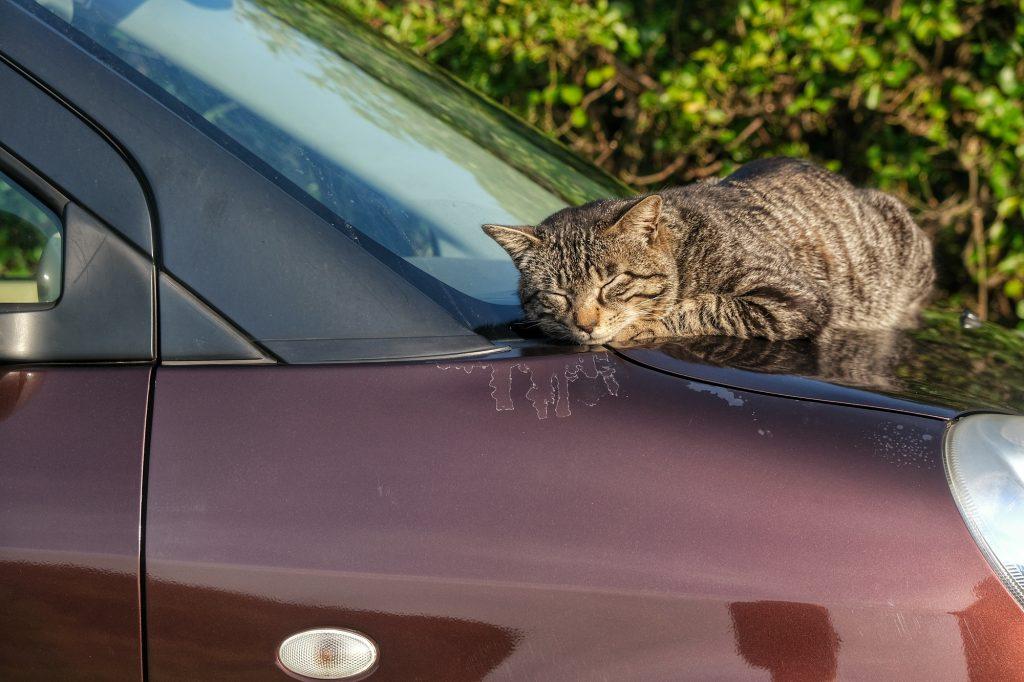 Un chat se repose sur une voiture au cap Muroto