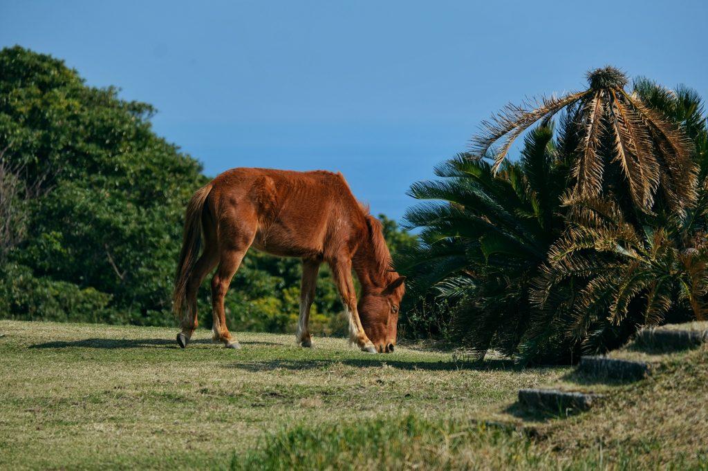 Un cheval sauvage broute l'herbe du cap Toi
