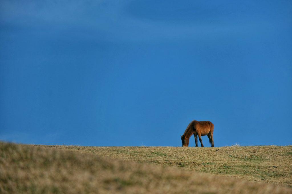 Un cheval sauvage, Misaki-uma, sur fond de ciel bleu du cap Toi