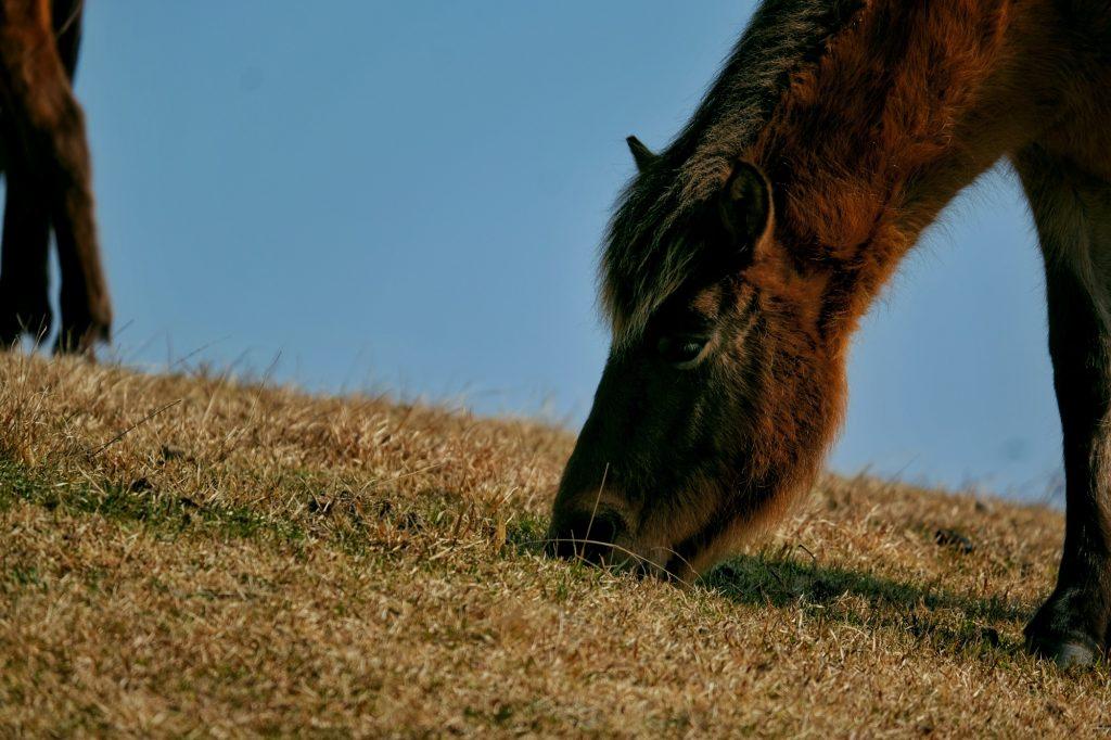 Un cheval broute tranquillement au cap Toi