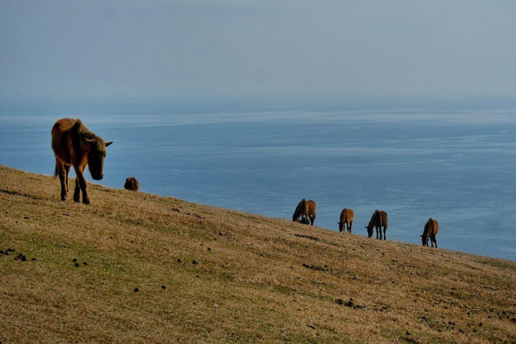 Les chevaux sauvages du cap Toi face à la mer