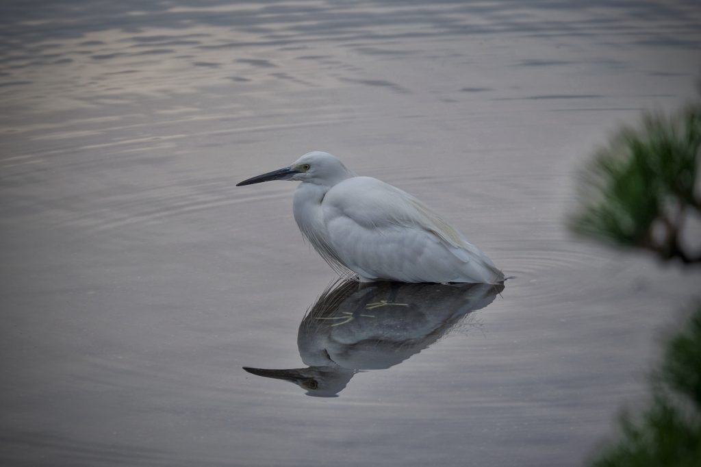 Une aigrette dans l'eau de l'étang du parc Suizenji