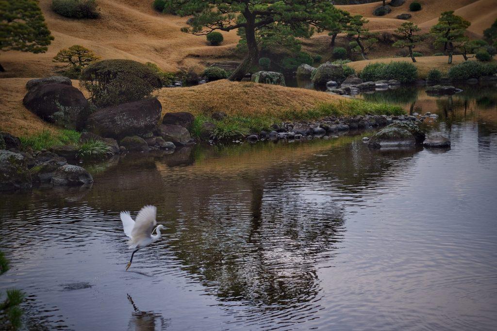 Une aigrette prend son envol au dessus de l'étang du parc Suizenji