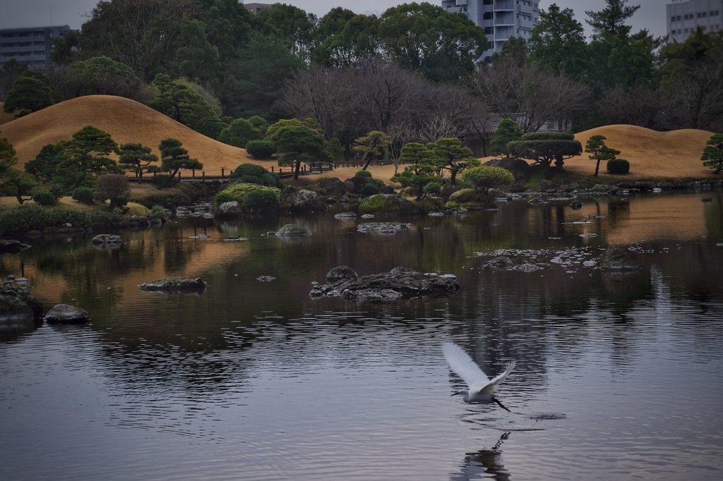 Une aigrette en vol au dessus de l'étang du parc Suizenji