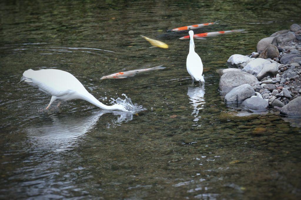 Une aigrette cherche de la nourriture dans l'étang du parc Suizenji