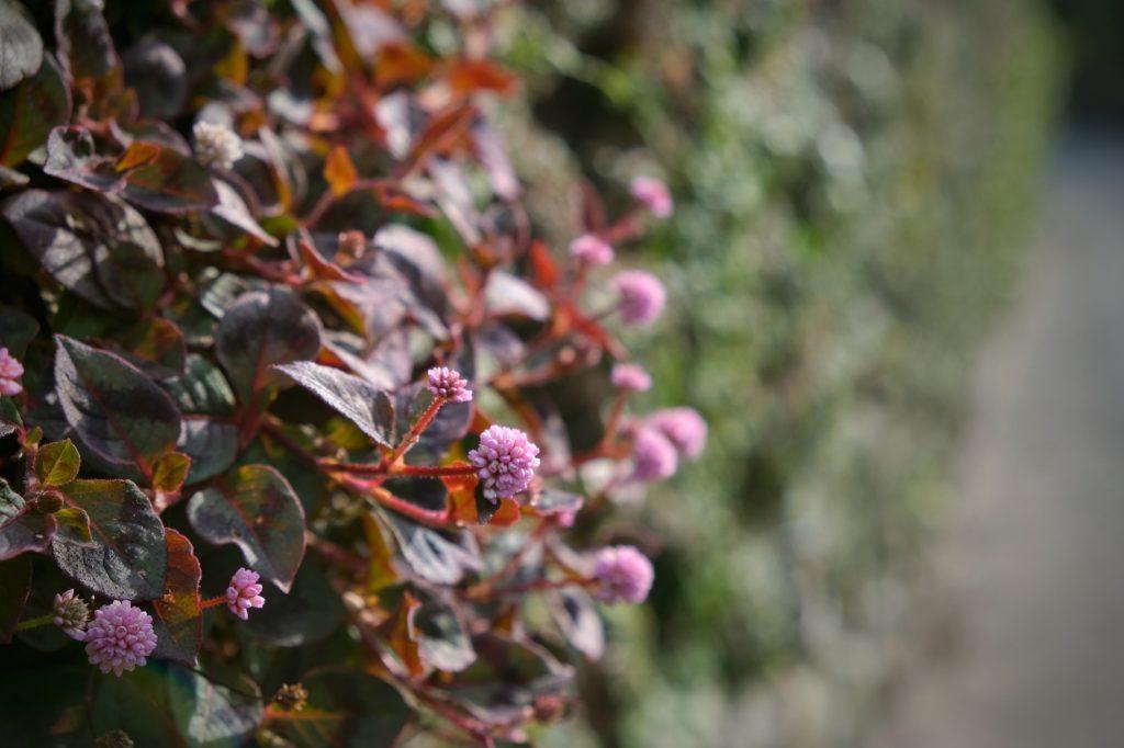 Une fleur sur un mur du quartier des Samouraïs de Chiran