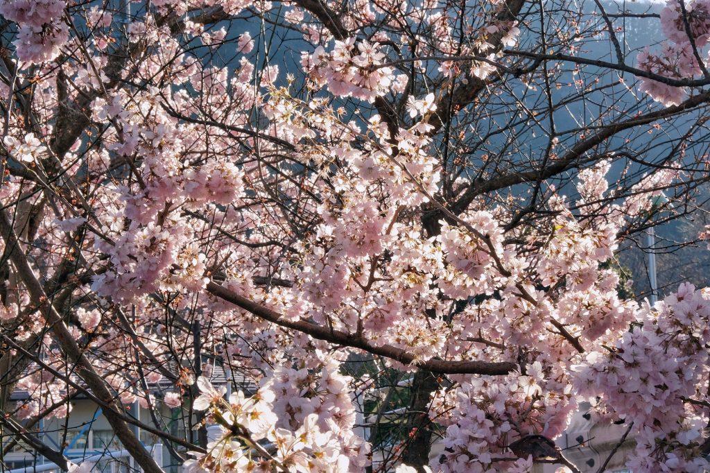 Les fleurs de cerisier, magnifique
