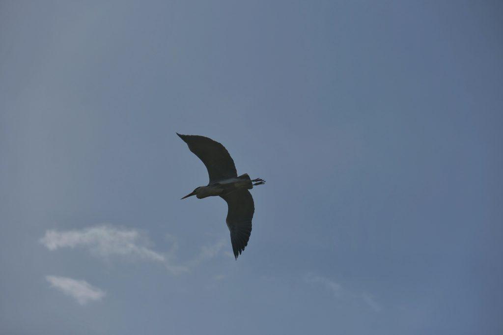 Un héron en vol au dessus des ruines du château de Tokushima
