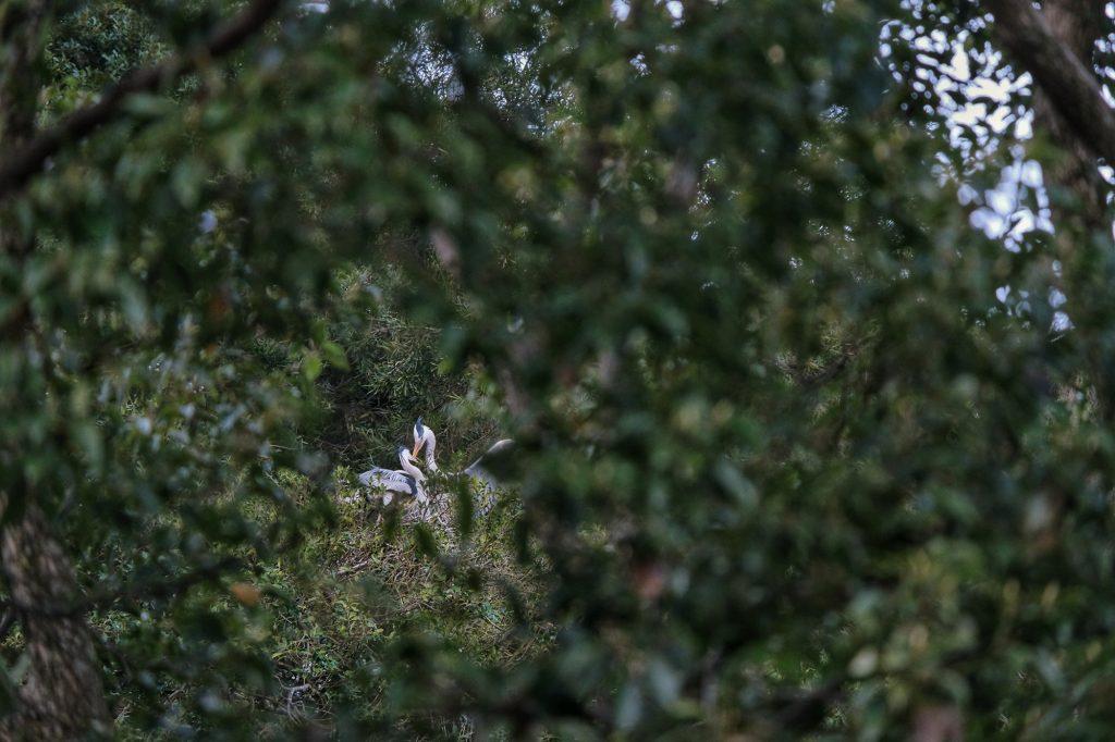 Deux hérons dans les arbres de Shiroyama à Tokushima