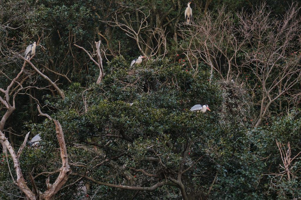 Beaucoup de hérons sur la colline Shiroyama à Tokushima