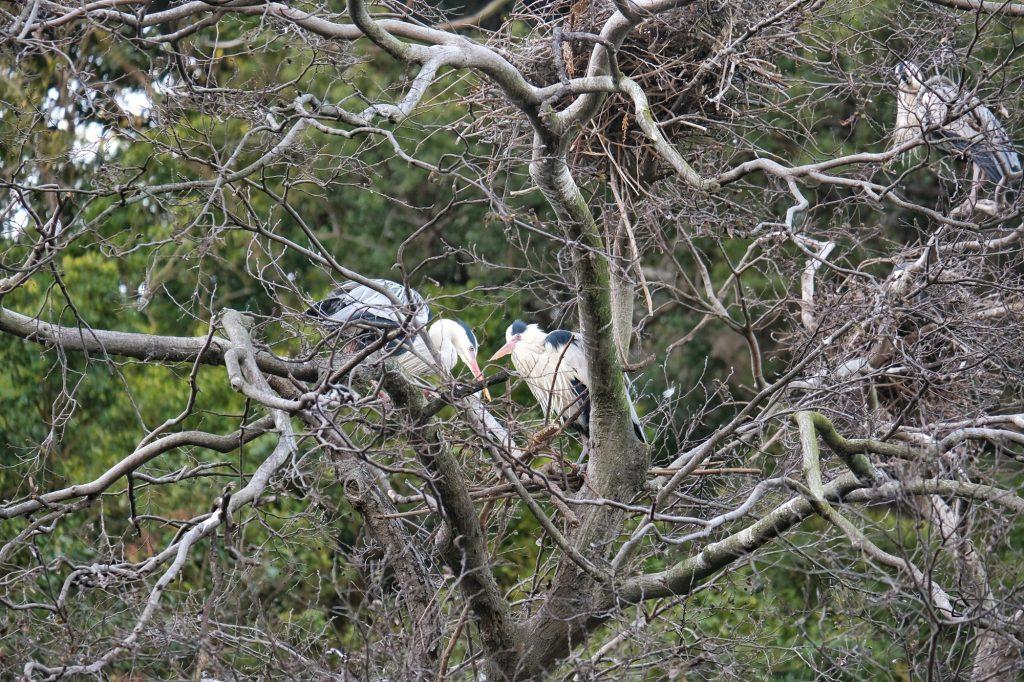 Deux hérons dans la montagne Shiroyama dans le parc de Tokushima
