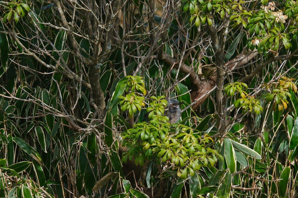 Un oiseau discret dans les arbres du parc Onshi