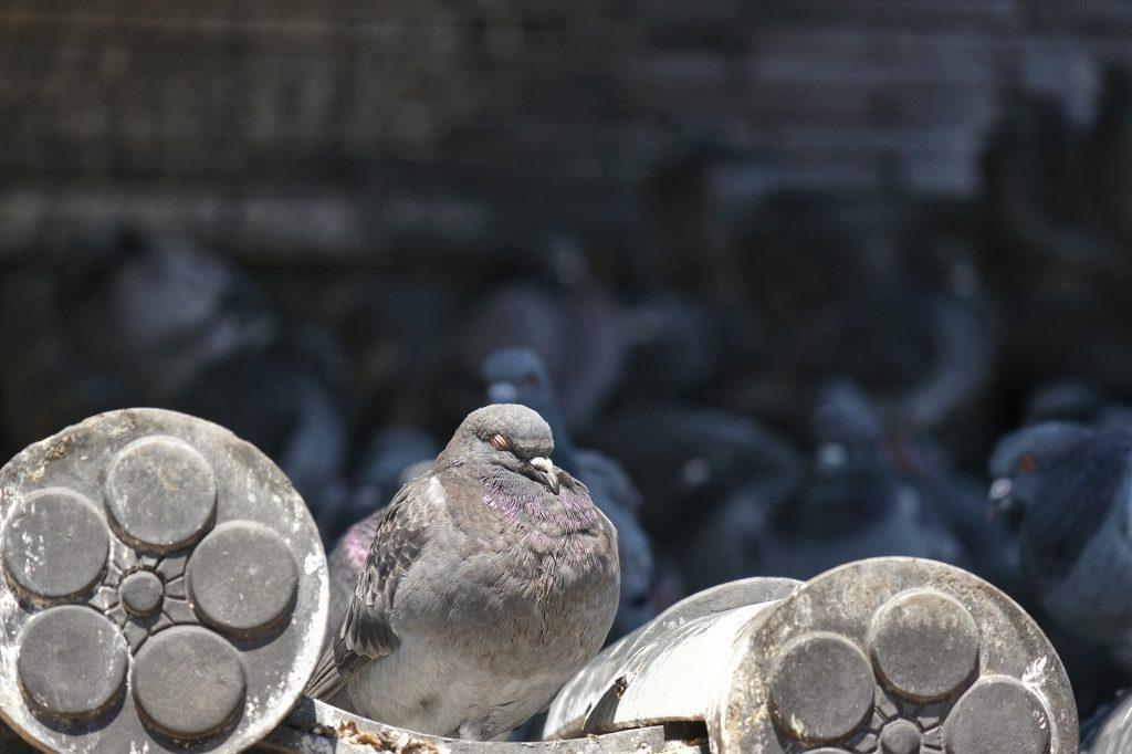 Un pigeon se repose sur les tuiles du toit de l'Osu Kannon de Nagoya