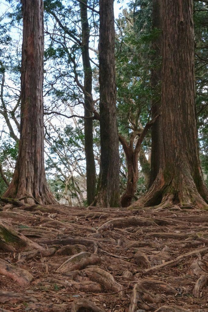 Des racines rampantes dans le parc Onshi