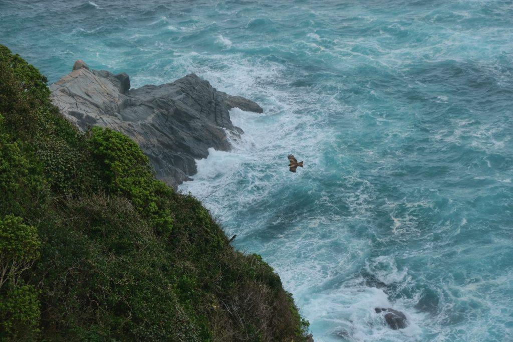 Un rapace vol au-dessus de l'océan Pacifique au cap Ashizuri