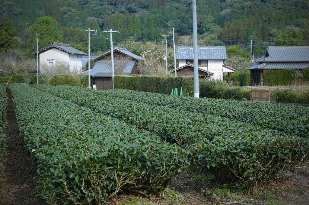 Plantation de thé entre les maisons de Chiran