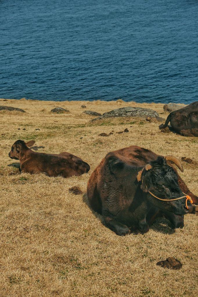 Une vache et un veau sur l'île de Kyushu