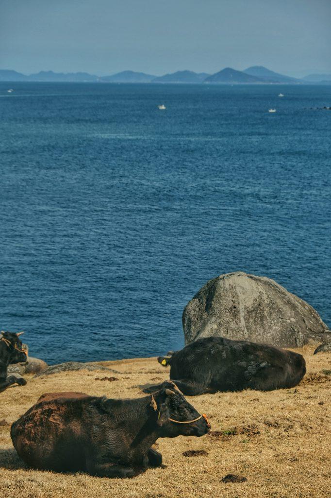 Des vaches en bord de mer sur le littoral de Kyushu