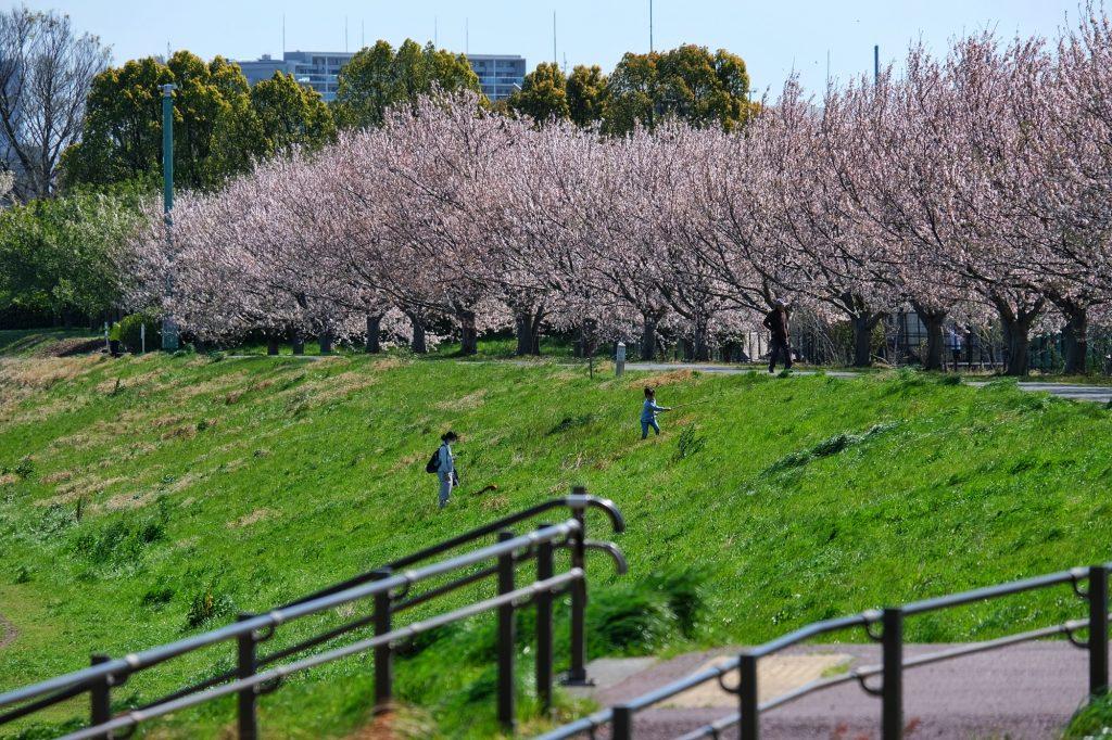 Des enfants jouent près d'une allée de cerisiers en fleur au parc Inagikita Ryokuchi