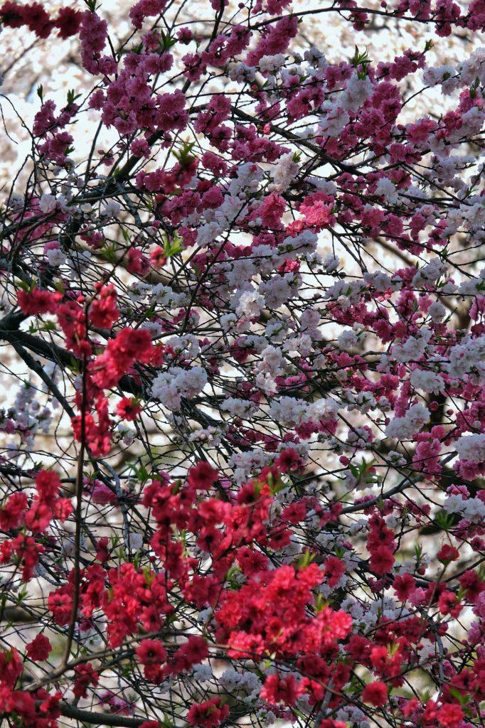 Fleurs de cerisiers, multitude de couleurs