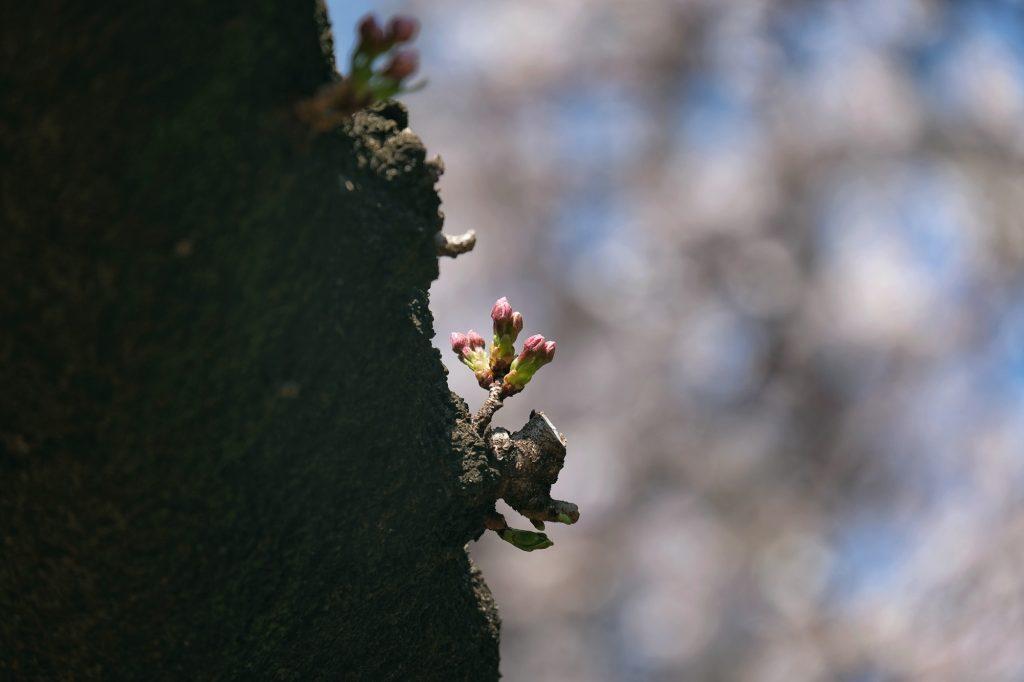 Un bourgeon naissant sur un cerisier du parc de Shinjuku