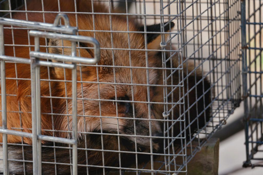 Un renard dans une cage du Zao Fox Village