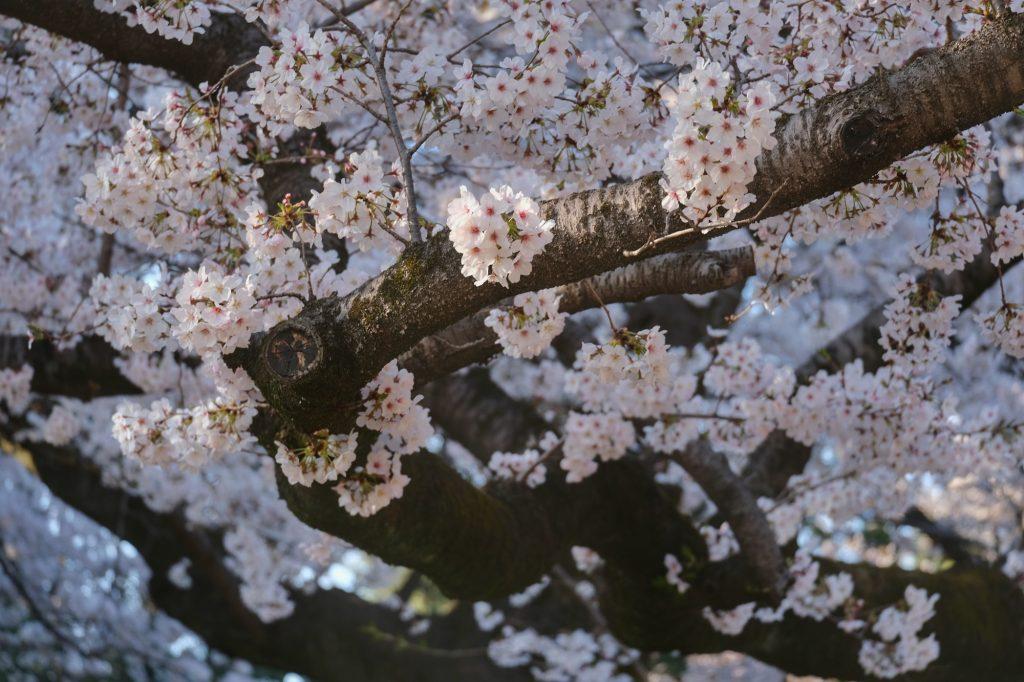 Fleurs blanches de sakura au parc Koganei