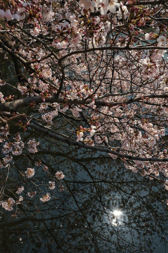 Un cerisier en fleur descend dans l'étang du parc de Shinjuku