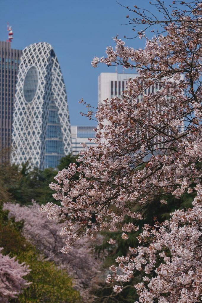 Les sakura du parc de Shinjuku et les grands immeubles du quartier