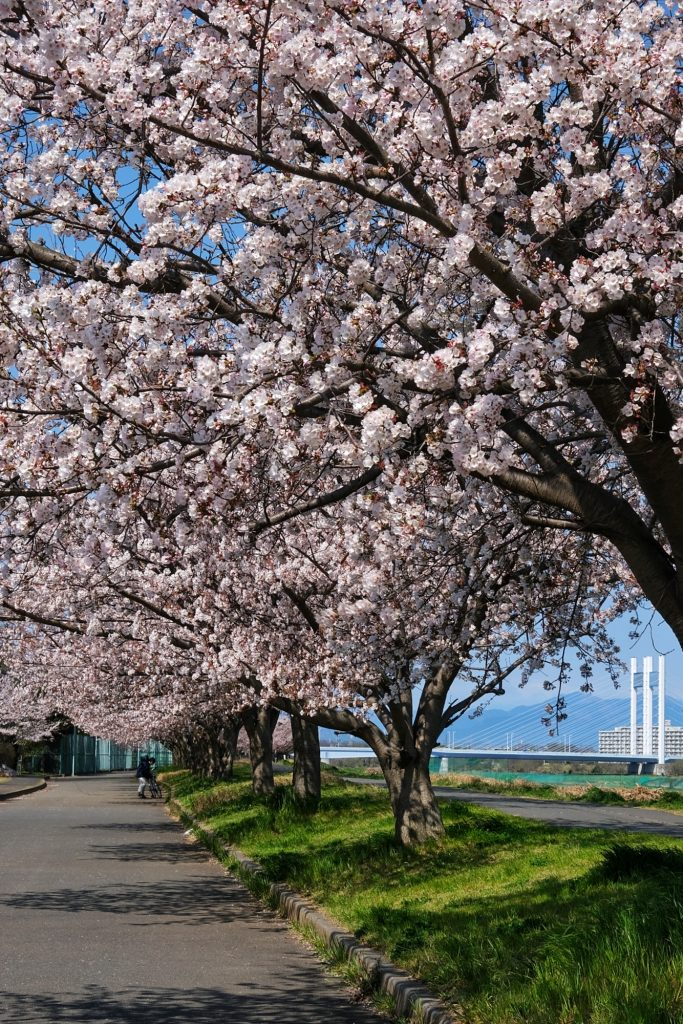 Les cerisiers en fleur sur le bord de la rivière Tamagawa